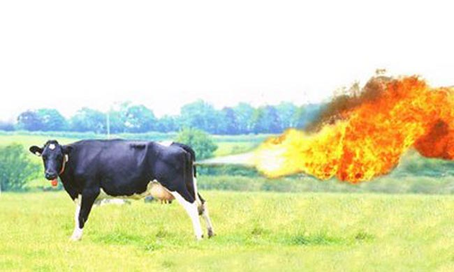 ninety-farting-cows-start-major-fire-and-suffer-burns[1]